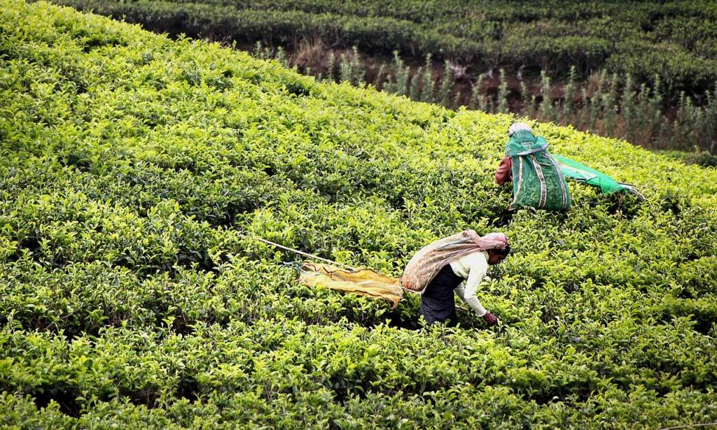 sri-lanka-plantacje-herbaty